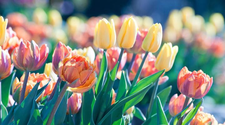 花チューリップ