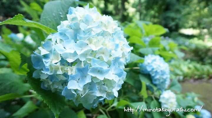 花アジサイ